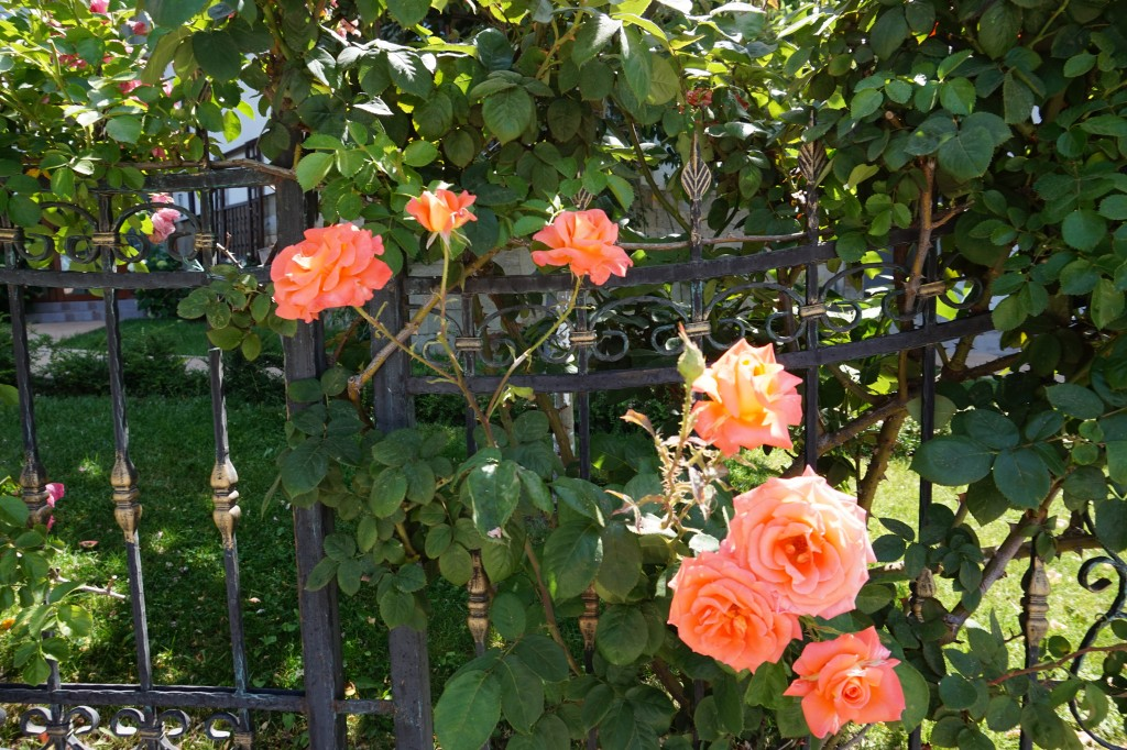 Peachey colour rose
